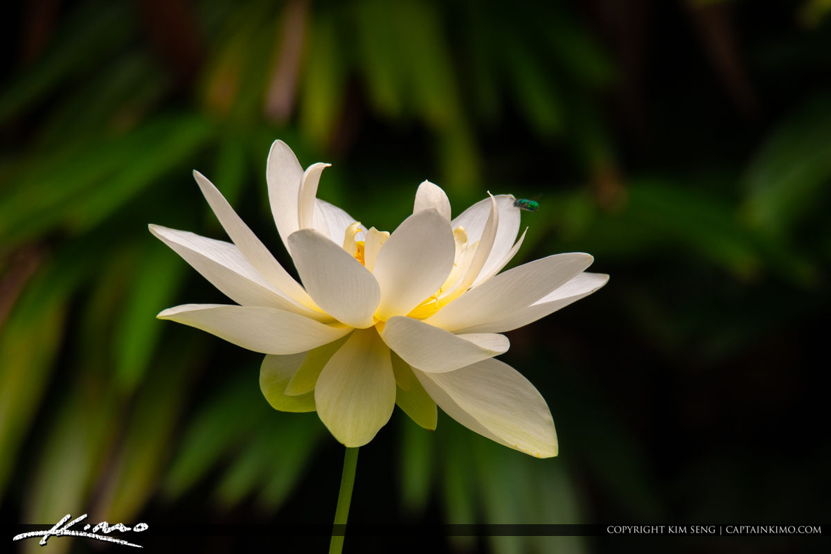 Lotus Flower McKee Botanical Garden Vero Beach Florida
