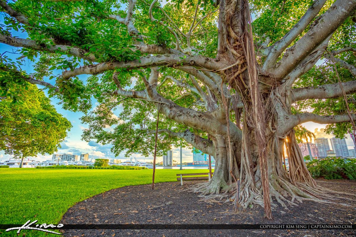 Underneath the Banyan Tree in Palm Beach Island Royal Park Marina