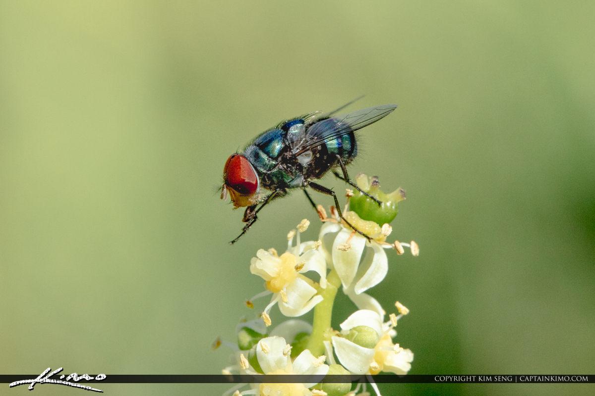 Fly on Flower Macro