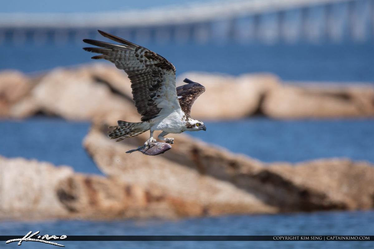 St Petersburg Florida Osprey with Fish at Skyway Bridge