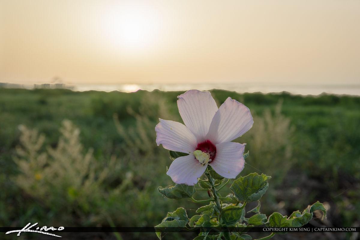 Lake Okeechobee Park Sunrise Hibiscus