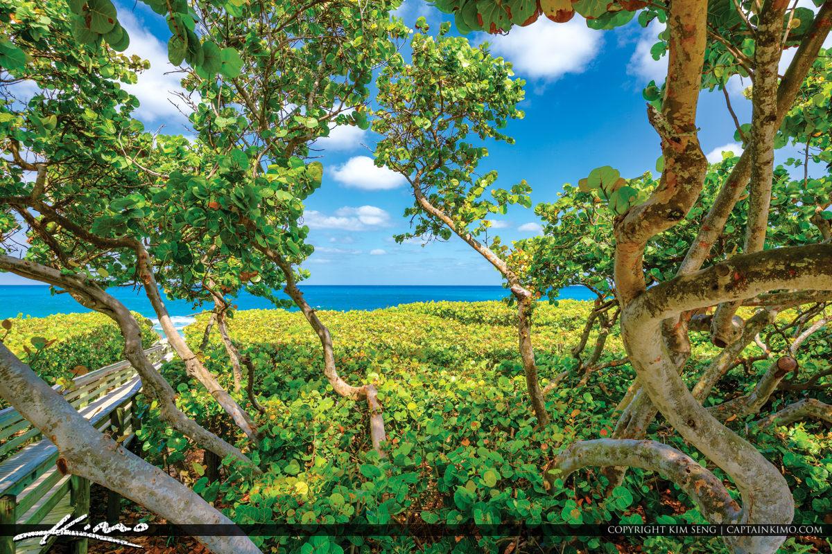 Sea of Grapes Jupiter Florida