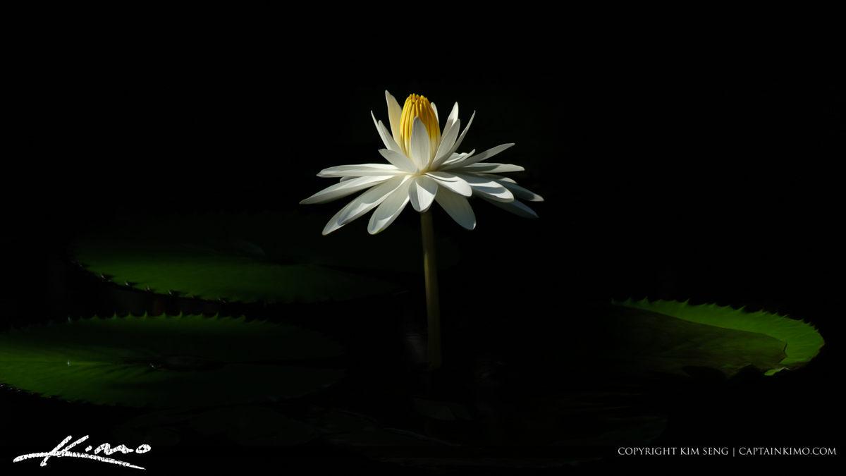 Lotus Flower and Lilypad Pano
