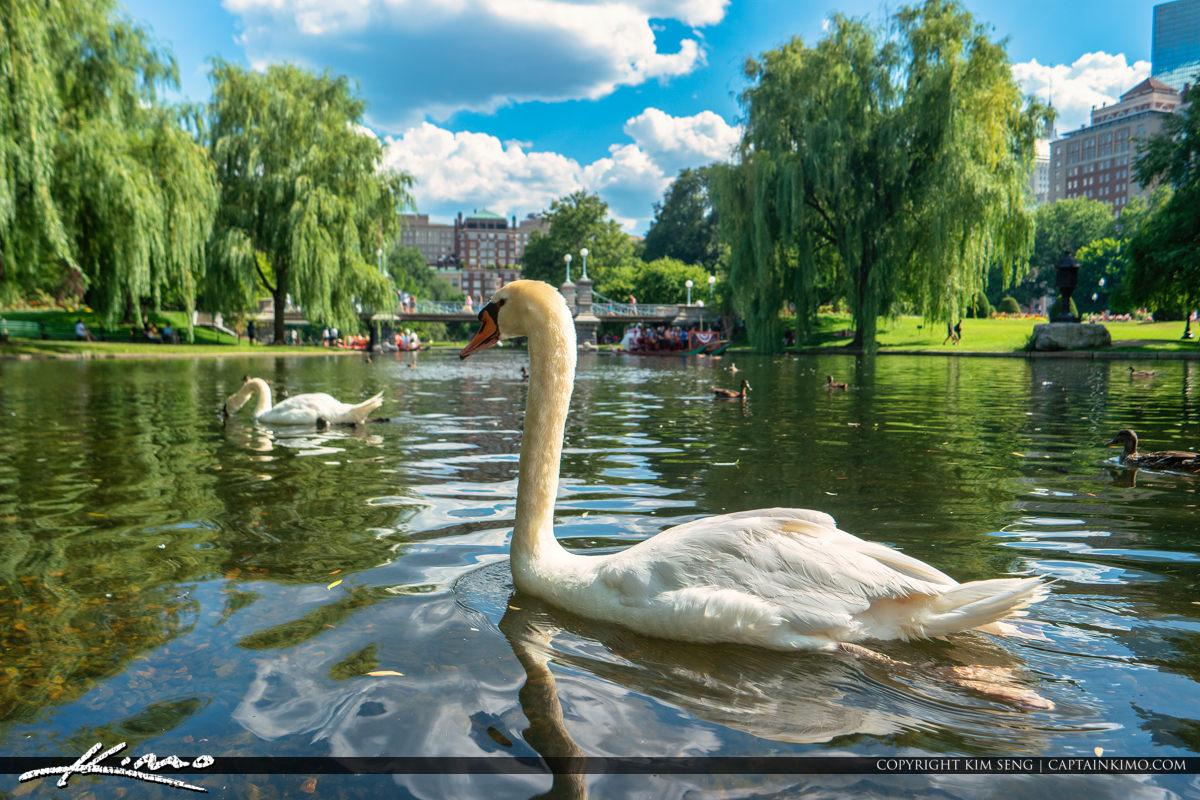 Boston Public Garden Swan at Lake Boston Massachusetts