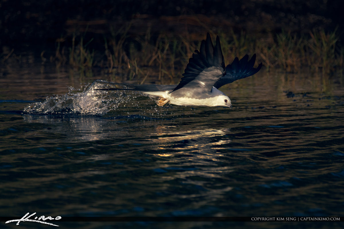 Swallow-tailed Kite Bird Photography over Water