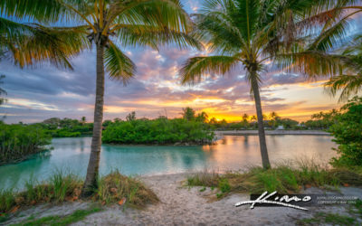 Coconut Trees at Dubois Park Swimming Lagoon Jupiter Florida