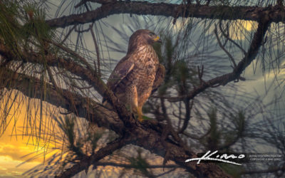 Red-shouldered hawk with Cane Toad on Florida Pine Tree Loxahatc