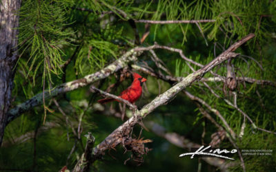 Jupiter Florida Red Cardinal at Cypress Creek Natural Area