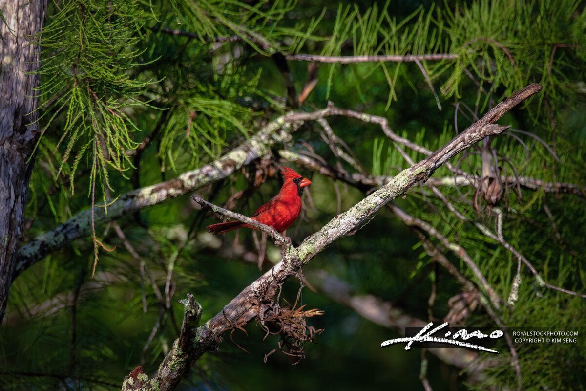 Jupiter Florida Red Cardinal at Cypress Creek Natural Area