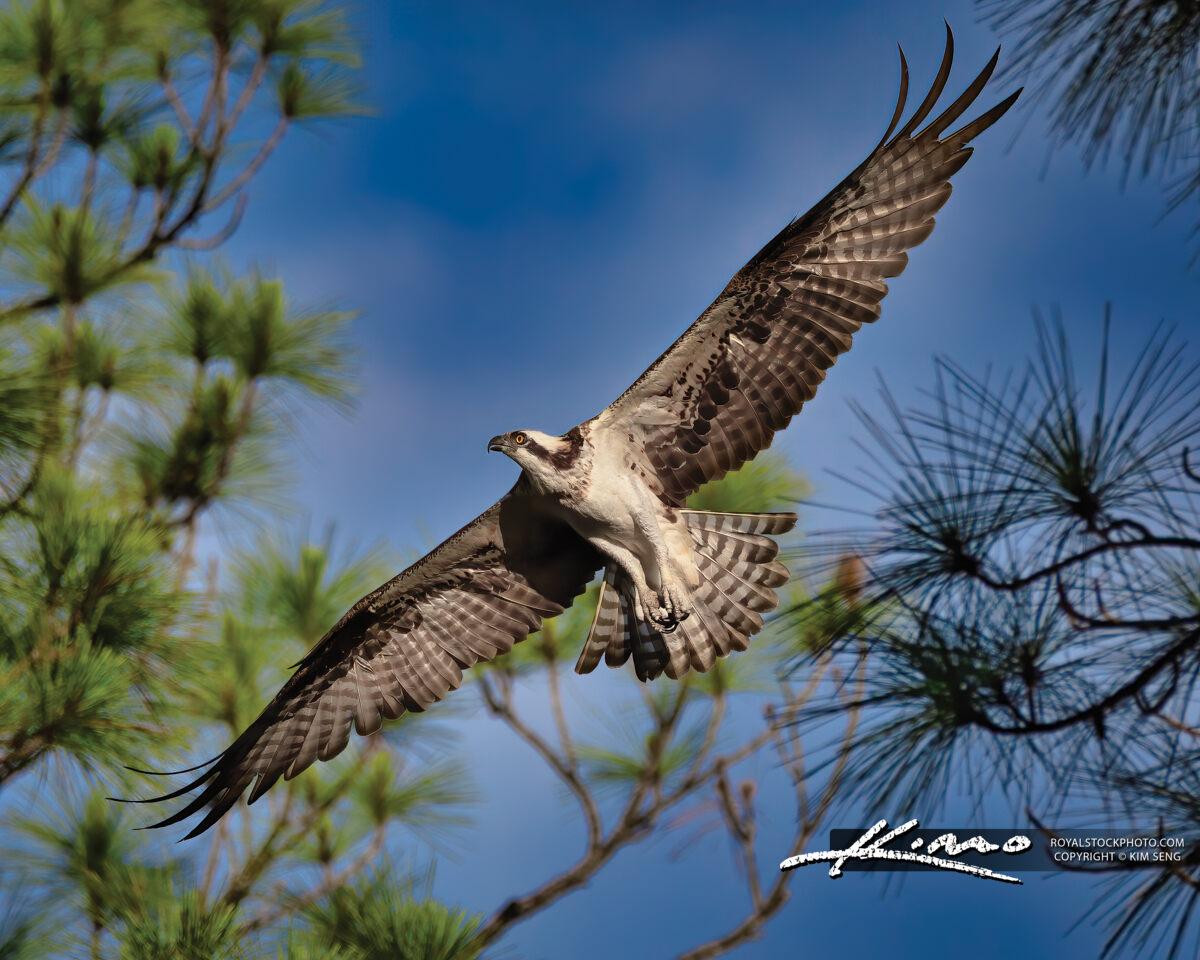 Florida Osprey Bird in Flight Jupiter Florida