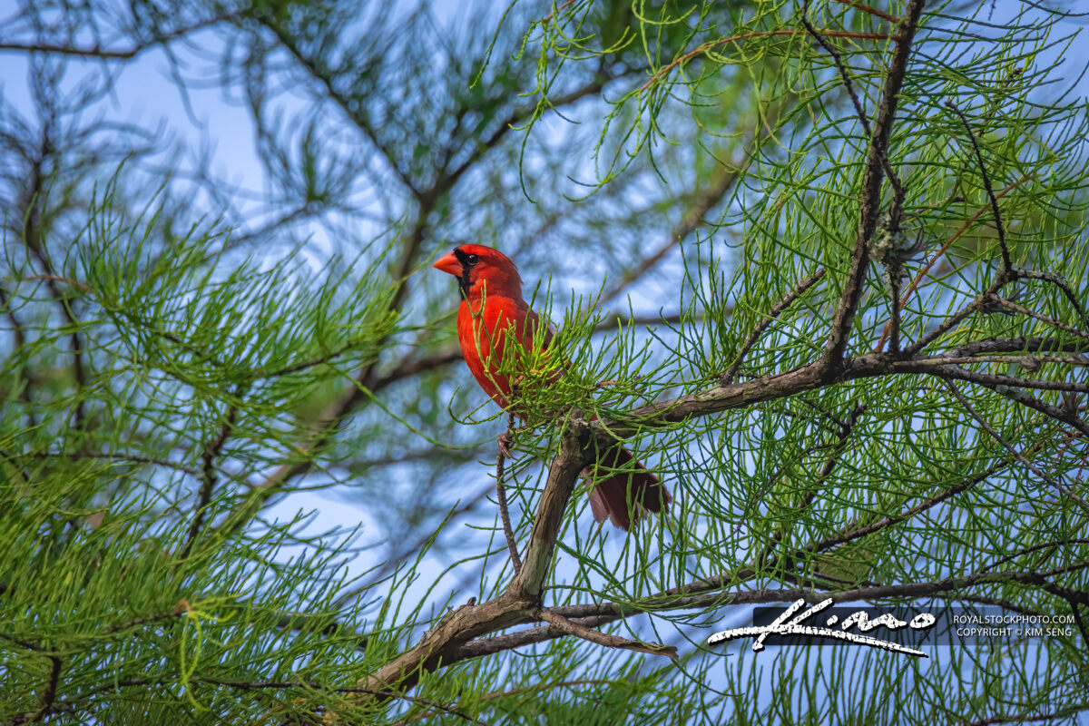 Florida Cardinal on Cypress Branch Riverbend Park