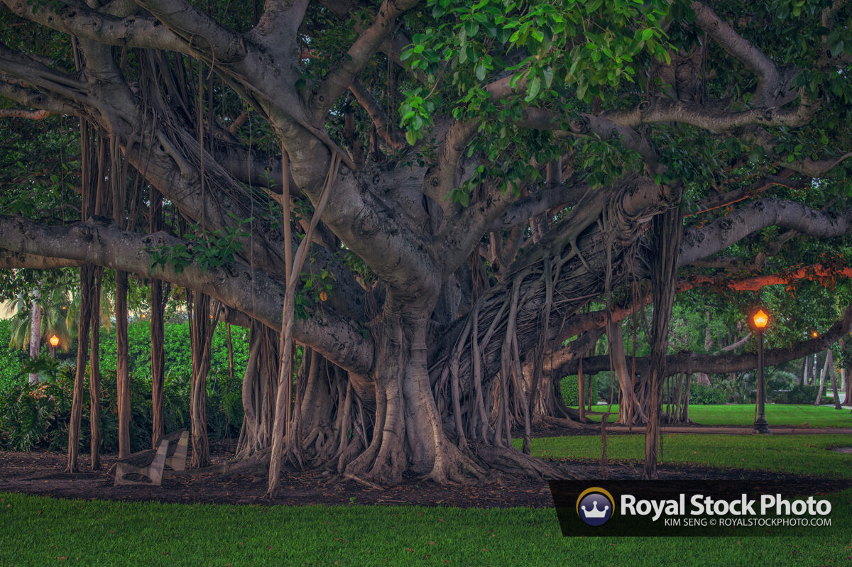 Beautiful Banyan Trees Palm Beach Island