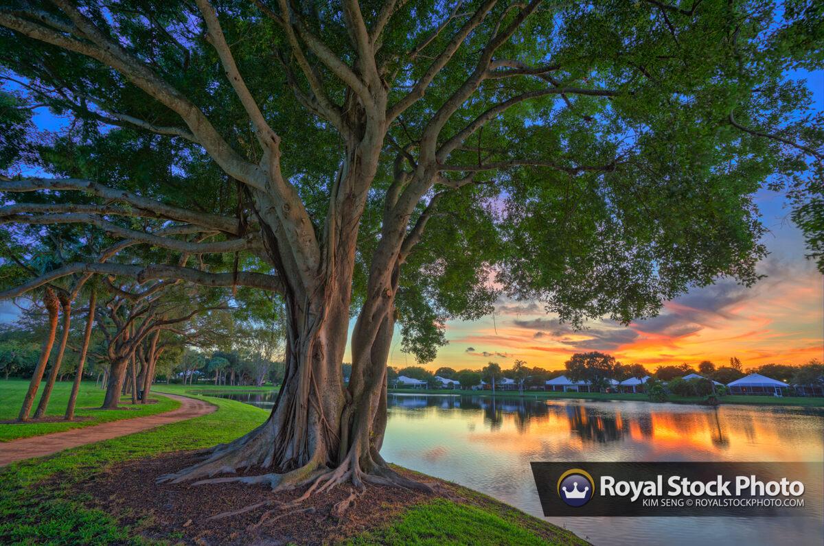 Large Ficus Tree Sunset at Lake Catherine Palm Beach Gardens