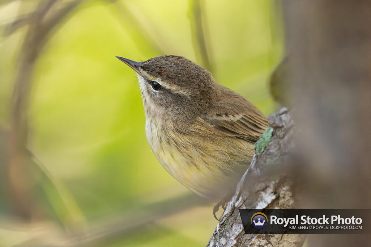 Warbler Bird Delray Beach Florida Palm Beach County