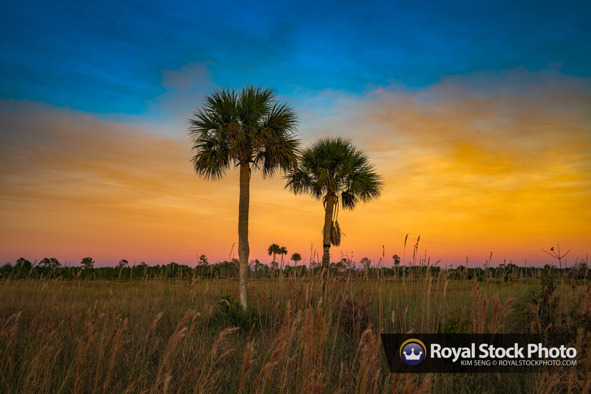 Florida cabbage palm sunset from Jupiter Farms
